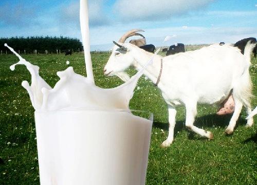 Manfaat Susu Kambing Bagi Kesehatan Tubuh